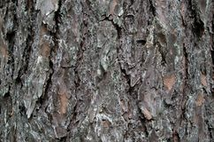 Bark pine close-up stock photography