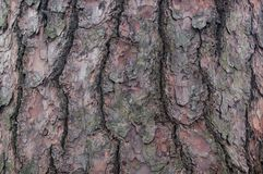 Bark of tree. Cedar. Pine. Coniferous. The bark of a pine coniferous tree or cedar as a background. Close-up royalty free stock image