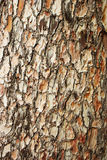 Bark of pine Stock Images