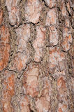 Bark of a pine in the forest. Royalty Free Stock Image