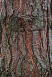 Bark of a pine Royalty Free Stock Image