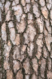 Bark of a pine tree Royalty Free Stock Photography