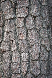 Bark of Pine Tree Stock Images
