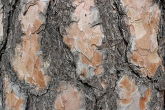Bark of a pine tree Stock Image