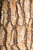 Bark of a pine tree Royalty Free Stock Photos