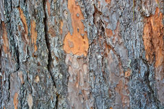 Bark of Pine Tree. For background royalty free stock image