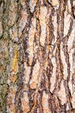 Bark of Pine Tree Royalty Free Stock Photo