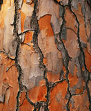 Bark of Pine Tree Royalty Free Stock Images