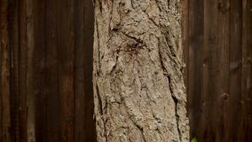 Bark of a pine tree on a background of a wooden fence. View of a bark of a pine tree on a background of a wooden fence stock video footage