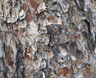Bark of Pine Tree Stock Image