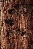 Bark of Pine Tree closeup Royalty Free Stock Image