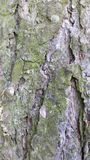 Bark from pine tree Stock Image