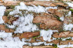 Bark of pine tree covered with snow texture. Stock Images