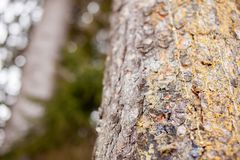 Bark of pine tree, macro stock photos