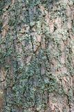 Bark of pine tree  with  moss Stock Photography