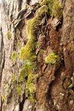 Bark of pine tree and moss Royalty Free Stock Images