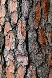 Bark of pine tree. The bark of the pine tree photographed close up royalty free stock image