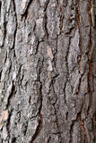 Bark of pine tree. The bark of the pine tree photographed close up stock image