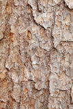 Bark of pine tree - texture Royalty Free Stock Images