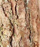 Bark of pine tree Royalty Free Stock Photography