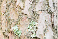 Bark of Pine Tree ,texture background Royalty Free Stock Photo