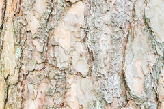 Bark of Pine Tree ,texture background Stock Photo