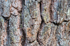 Bark of pine tree and texture Stock Images