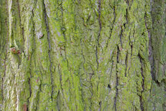 Bark of pine tree Stock Image