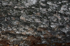 Bark on the Pine Tree. Bark on the trunk of the old pine Stock Photo