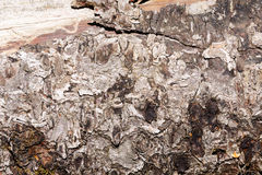 Bark of a pine trunk. Stock Photography