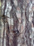Cork, rind, crust, incrustation. Bark pine wood brown, background view of the forest Royalty Free Stock Photos