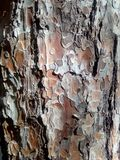 Crust, incrustation, rind, cork. Bark pine wood brown, background view of the forest Royalty Free Stock Image