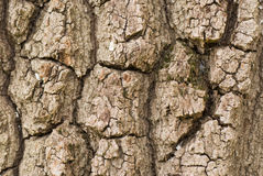 Bark of plane tree Stock Images