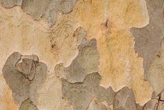 Bark of plane tree Royalty Free Stock Photo