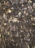 Bark of plane tree. Background Royalty Free Stock Images