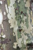 Bark of the platan tree. Texture Royalty Free Stock Images