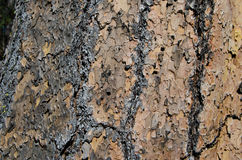 Bark on Ponderosa Pine Tree Stock Photography