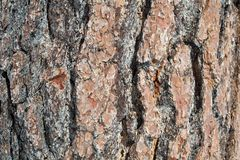 Ponderosa Pine-tree bark texture or background. The bark of the Ponderosa pine tree - texture or background Royalty Free Stock Images
