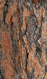 Bark of ponderosa tree Royalty Free Stock Photo