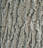Bark poplar Royalty Free Stock Photo