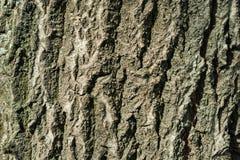 Bark of poplar tree Royalty Free Stock Photography