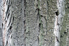 Bark of the poplar tree Stock Photo