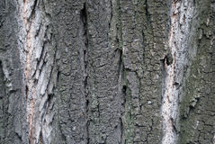 Bark of the poplar tree Royalty Free Stock Image