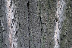 Bark of the poplar tree Royalty Free Stock Image