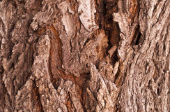 Bark poplar Tree texture Stock Image