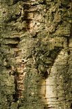 Bark of Quercus suber, cork oak tree. Primary source of cork for wine bottle stoppers Stock Image