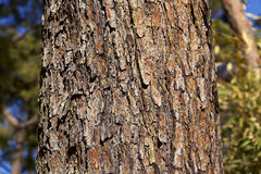 Bark of red pine Stock Images