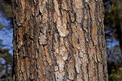 Bark of red pine Royalty Free Stock Image