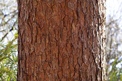 Bark of red pine Royalty Free Stock Images
