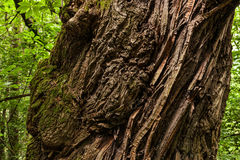 Bark ribs of a centuries-old chestnut Royalty Free Stock Image